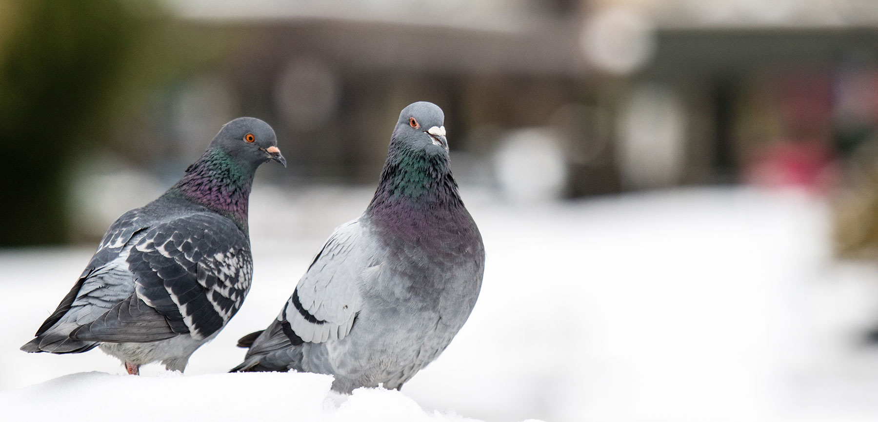 Why You Should Love NYC Pigeons