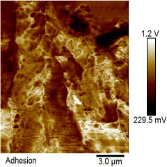 AFM Phase image by Ipsita Banerjee