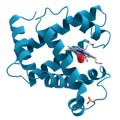 A 3D ribbon model of the protein myoglobin