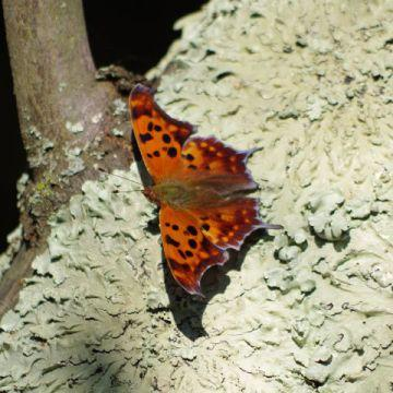orange moth with black spots on a tree with lichen